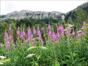 Fireweed Grand Teton Jackson Hole The Mountain Pulse