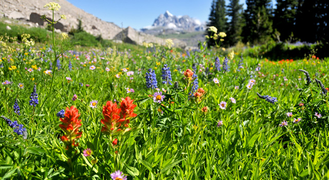 paintbrush_06, jackson hole wild flowers, teton flowers, grand teton national park wildflowers wyoming