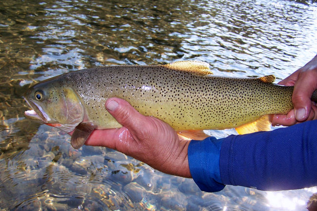 19 inch snake river cutthroat fish the fly guide service jackson hole fly fishing wyoming