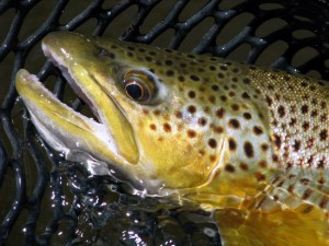 brown trout the mountain pulse fly fishing jackson hole