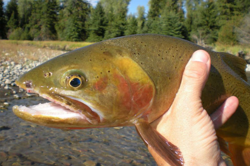 fish_snake river cutthroat